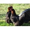 Copper Black Maran Chicks